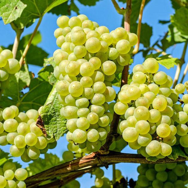vitigni bianchi