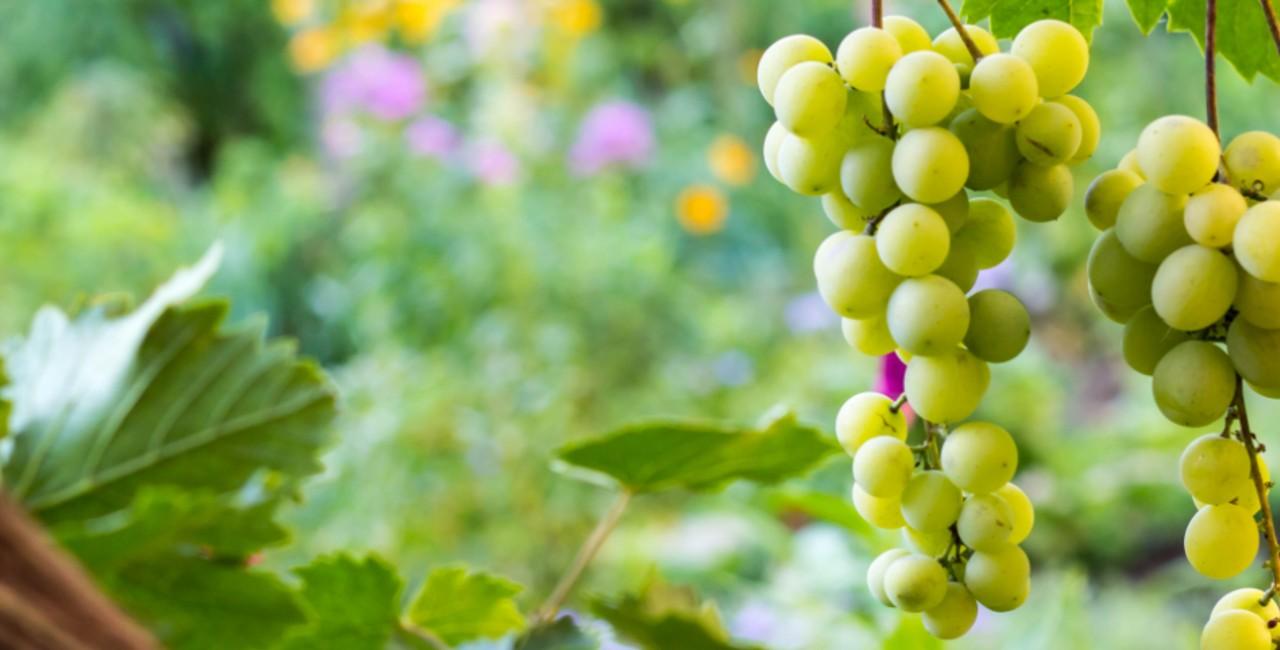 vitigni siciliani zibibbo