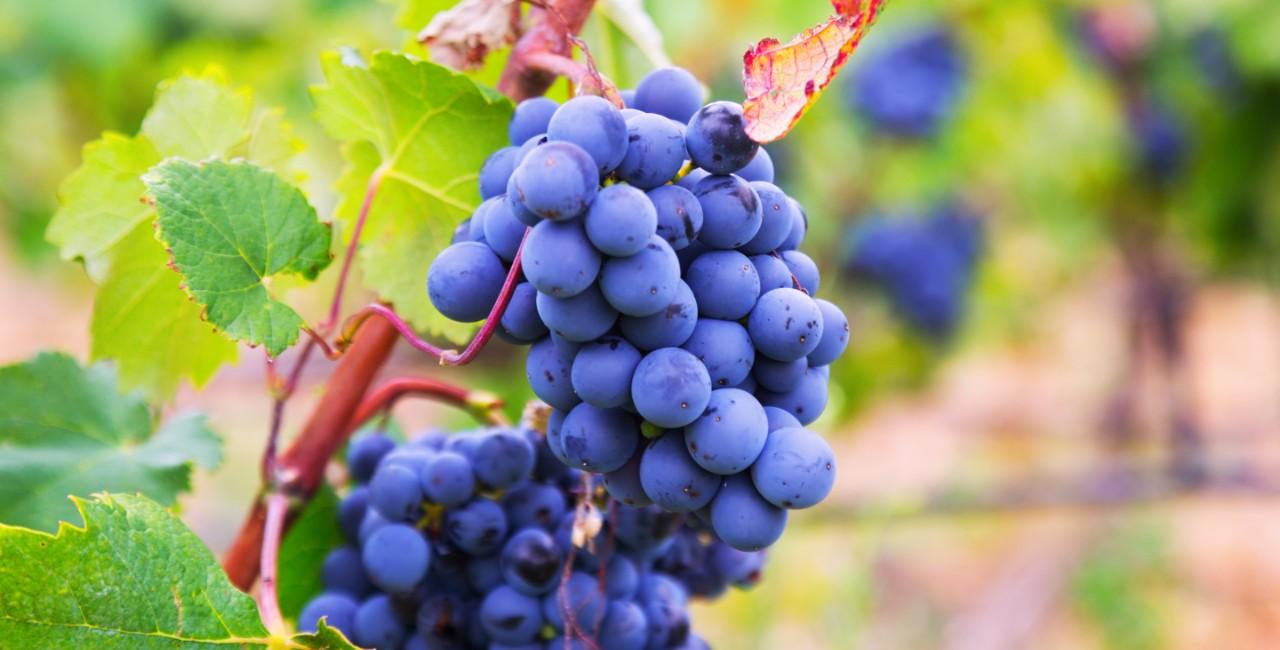 vitigni reliquia sicilia