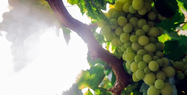 albanello vitigno